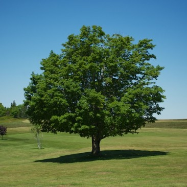 Tree on the golf course, North Haven, Maine.